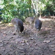 The three cassowaries - September 2015