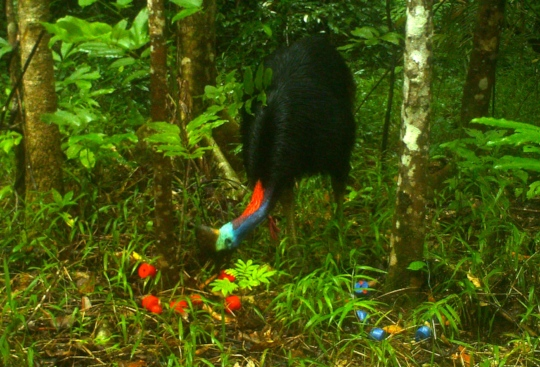 Cassowary caught by camera trap