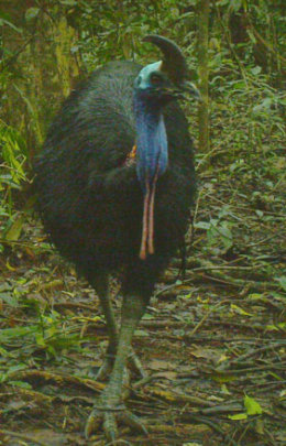 Camera trap photo: cassowary at Baralba Reserve