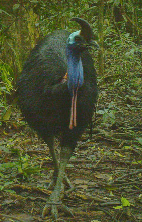 Camera trap photo: cassowary at Baralba Reserve