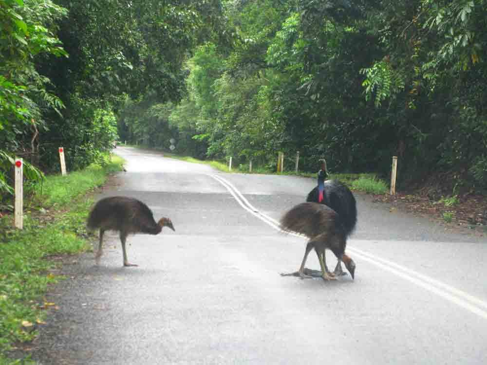Cassowary family on road (photo MFaught)
