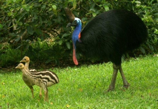 Three cassowary chicks with their dad