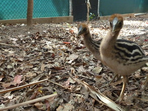 two of the cassowary chicks in care