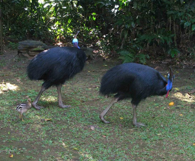 Cassowaries are frequenting the planting site