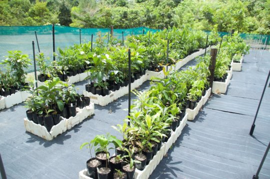 Native seedlings: future Cassowary food supply