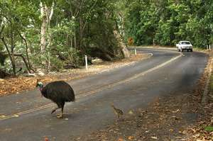 Beware Cassowary Crossing
