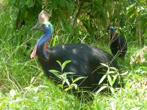 Cassowary Family in the Daintree