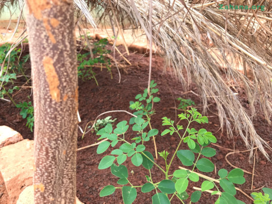 Moringa seedling growing well