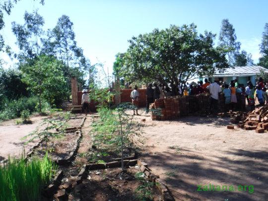 New moringa trees growing