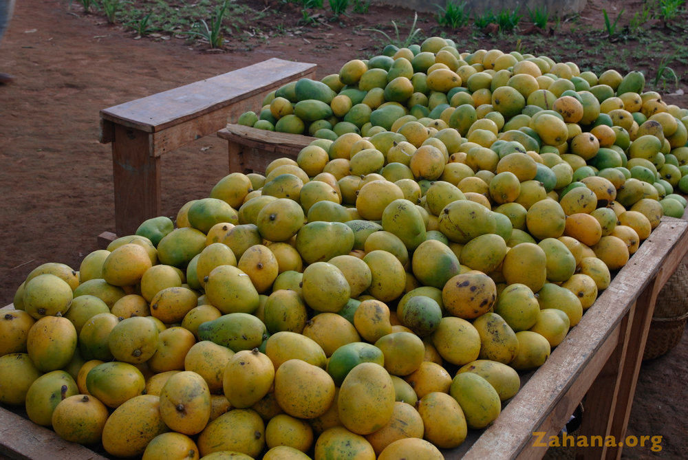 Harvested ripe mangos ready to be shared