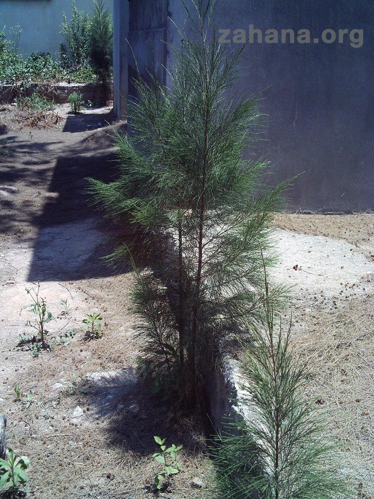 Ironwood seedling at the hospital