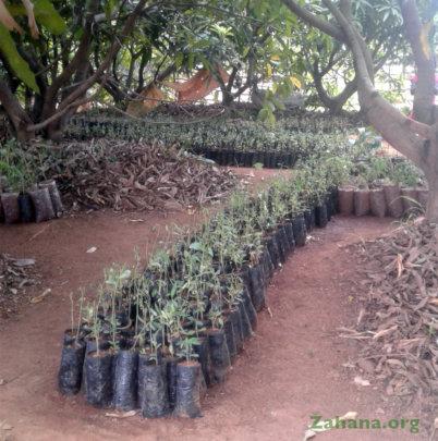 Tree seedlings in the school's mango forest
