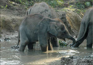 Rani in the play pond with the other calves
