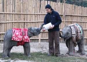 Adopt An Elephant Calf