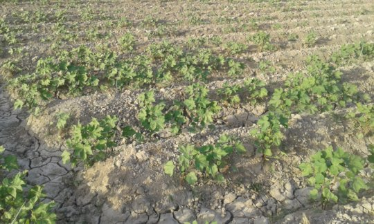 Cotton on small plot