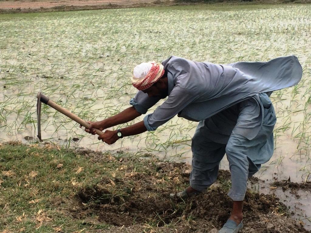 Farmer busy in rice crop 2 acre plot