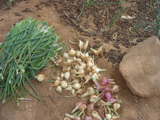 Shallot harvested in market gardens.