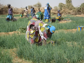 Women cultivating shallot in NEF-supported garden.