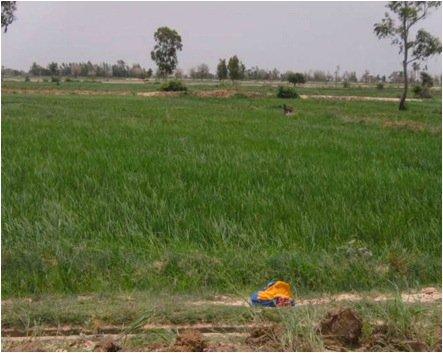 Healthy rice fields that received fertilizer