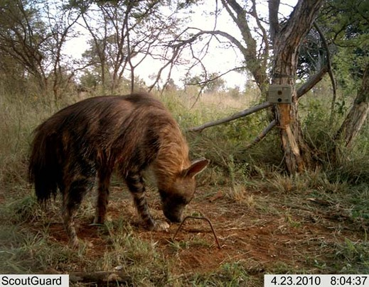 A hyena captured by camera trap