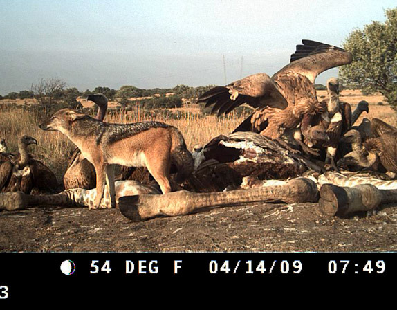Scavenging captured by camera trap