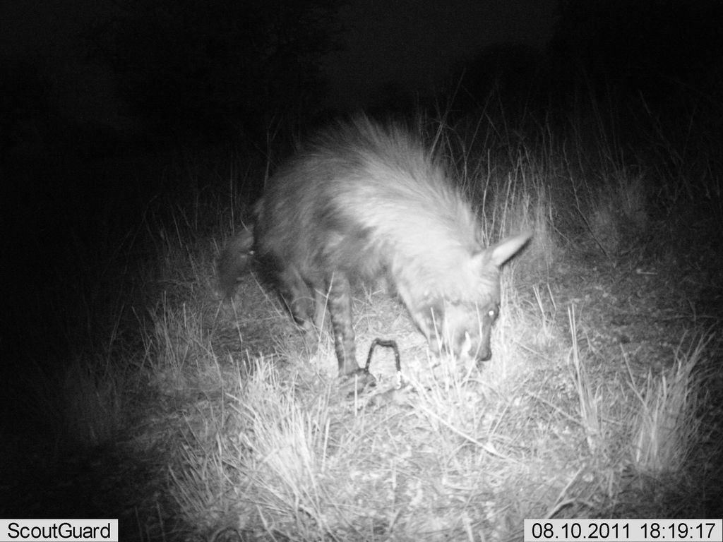 "Hyaena ""caught"" feeding on night camera trap"