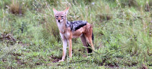 Black-backed jackals are also threatened.