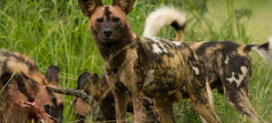 African wild dogs are endangered large carnivores.
