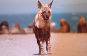 Save South Africa's Brown Hyaenas