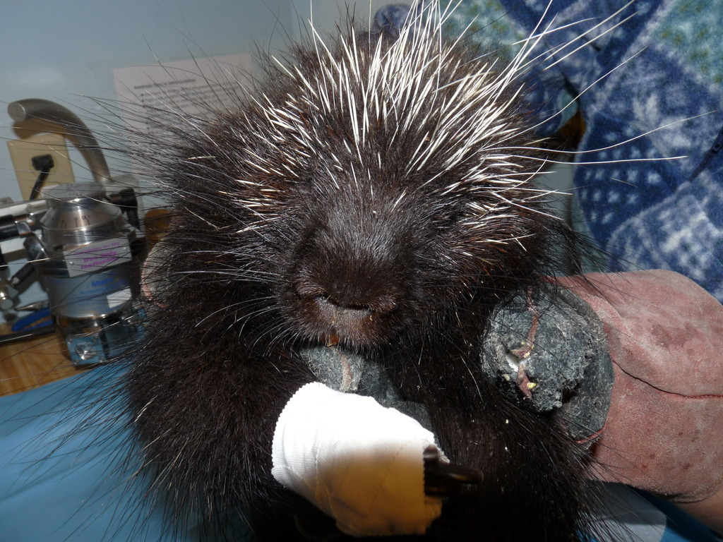 Pregnant North American Porcupine patient recovers
