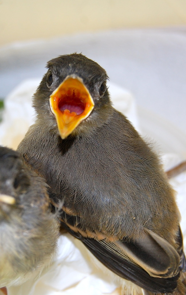 Orphaned Eastern phoebes cared for at clinic