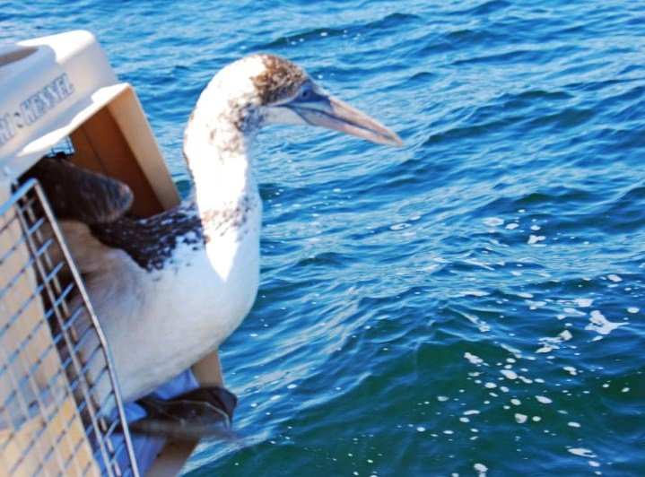 Northern Gannet returns to the wild!