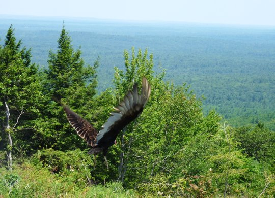 Turkey vulture release back into the wild