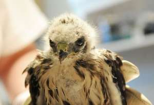 Nestling broad-winged hawk with wound