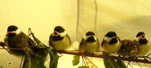 Orphaned Songbirds