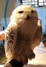 Snowy Owl Patient