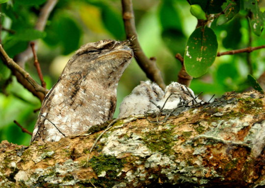 Papuan Frogmouth - Allen Sheather