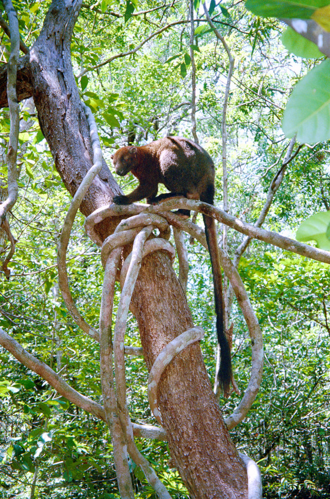 Bennetts Tree Kangaroo - Credit Mungumby Lodge