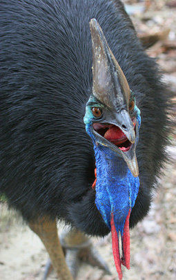 A great cassowary