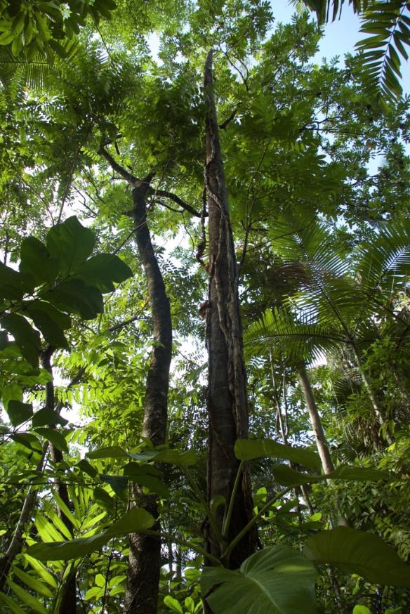 Daintree lowland rainforest