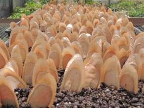 Seed propagation in the Native Daintree Nursery