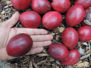Some rainforest fruit seed collection activity