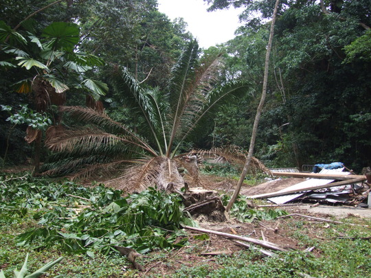 five Oil Palms that covered nearly one hectare