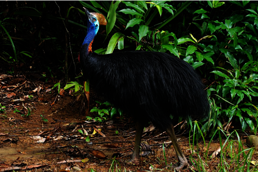 Cassowary - Martin Stringer Photography