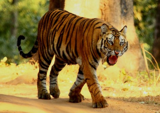 A healthy wild tiger in India
