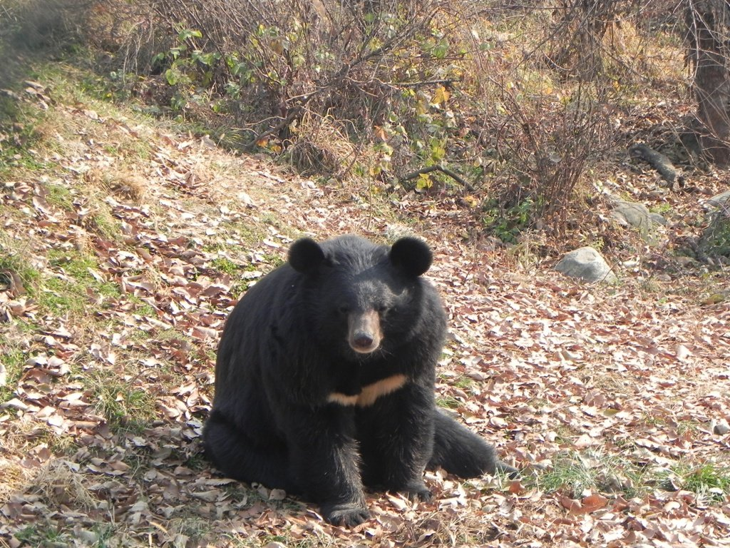 Black Bear in Dachigam National Park