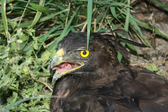 Our Long-crested Eagle