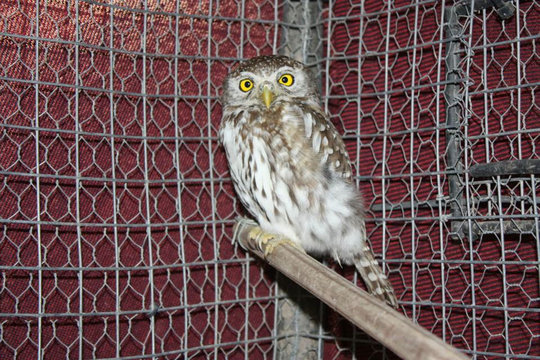Bella, the Pearl-spotted Owlet