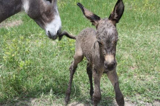 Little Shady the Baby Donkey