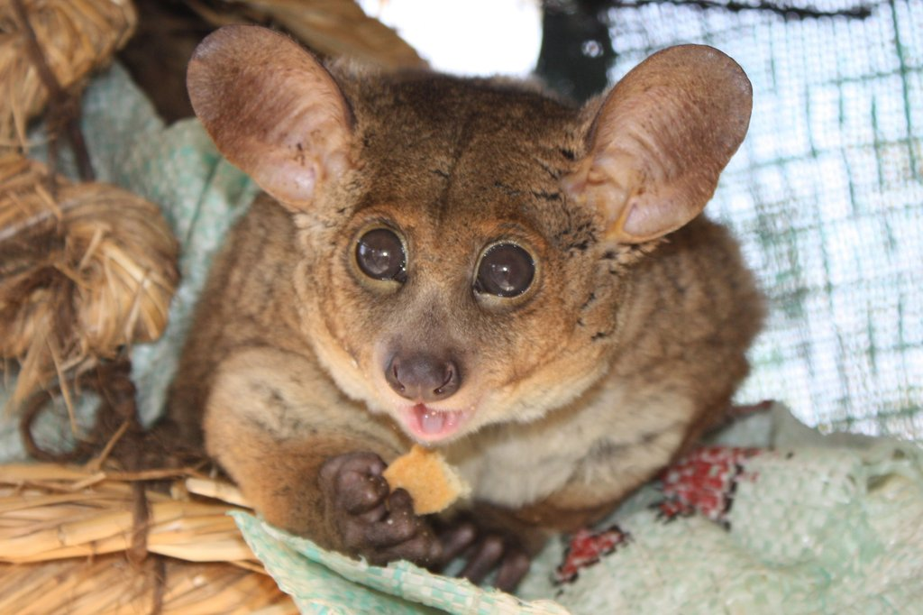 Banchee, the Thick-tailed Bushbaby